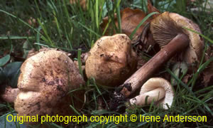 Inocybe erubescens (  )  [ Original photo copyright © Irene Andersson ]