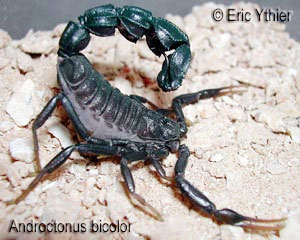 "Androctonus bicolor ""aeneas morph"" male (Libya)  [ Original photo copyright © Eric Ythier ]"