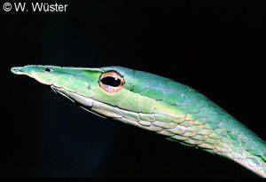 Ahaetulla nasuta ( Common Green Snake ) [ Original phot