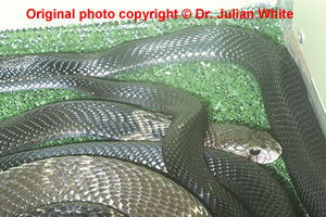 Naja atra  ( Chinese Cobra )  [ Original photo copyright © Dr Julian White ]