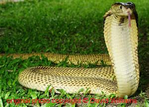 Naja sumatrana ( Sumatran Spitting Cobra )  [ Original photo copyright © David Williams ]