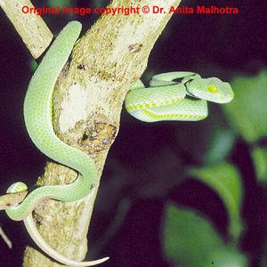 Trimeresurus macrops ( Dark Green Pit Viper ) [ Origina