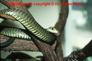 Dispholidus  typus  ( Boomslang )  [ Original photo copyright © Dr Julian White ]