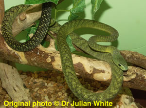 Dendroaspis jamesoni ( Traill's Green Mamba )  [ Original photo copyright © Dr Julian White ]