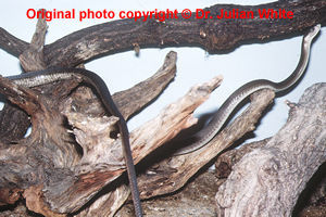 Dendroaspis polylepis ( Black Mamba )  [ Original photo copyright © Dr Julian White ]