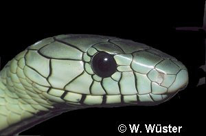 Dendroaspis viridis ( Hallowell's Green Mamba )  [ Original photo copyright © Dr Wolfgang Wuster ]