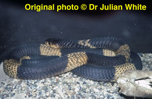 Naja haje  ( Egyptian Cobra ) [ Original photo copyright © Dr Julian White ]