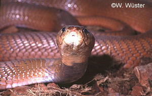 Naja pallida  ( Red Spitting Cobra )  [ Original photo copyright © Dr Wolfgang Wuster ]