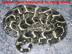 Bitis  arietans  ( Puff Adder )  [ Original photo copyright © Dr Julian White ]