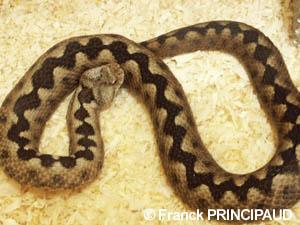 vipera ammodytes long nosed viper original photo copyri