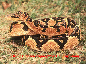 Lachesis muta  ( Bushmaster )  [ Original photo copyright © Dr Jurg Meier ]