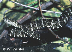 Bothrops taeniata  ( Speckled Forest Pit Viper  )  [ Original photo copyright © Dr Wolfgang Wuster ]