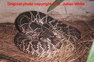 Crotalus    adamanteus  ( Eastern Diamondback Rattlesnake  )  [ Original photo copyright © Dr Julian White ]