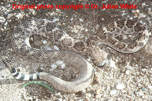 Crotalus atrox  ( Western Diamond Rattlesnake  )  [ Original photo copyright © Dr Julian White ]