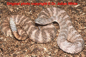 Crotalus tigris  ( Tiger Rattlesnake  )  [ Original photo copyright © Dr Julian White ]