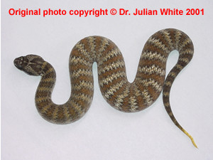 Acanthophis praelongus  ( Northern Death Adder  )  [ Original photo copyright © Dr Julian White ]