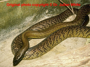 Oxyuranus microlepidotus  ( Inland Taipan )  [ Original photo copyright © Dr Julian White ]
