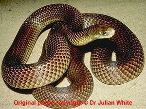 Pseudechis australis  ( Mulga Snake )  [ Original photo copyright © Dr Julian White ]