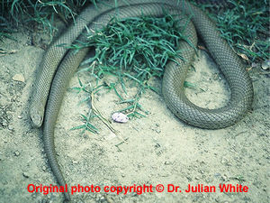 Pseudonaja textilis  ( Eastern Brown Snake )  [ Original photo copyright © Dr Julian White ]