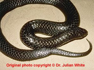 Notechis ater  ( Chappell Island Tiger Snake ) subsp.  serventyi   [ Original photo copyright © Dr Julian White ]