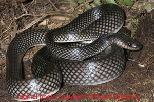 Stegonotus cucullatus ( Slatey Grey Snake  ) Agogo [ Original photo copyright © David Williams ]