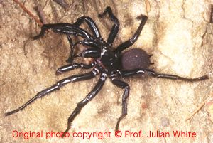 Atrax  robustus ( Sydney Funnel Web Spider  )  [ Original photo copyright © Dr Julian White ]