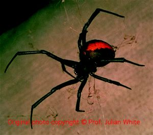 Latrodectus hasseltii ( Redback Spider )  [ Original photo copyright © Dr Julian White ]