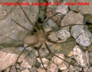 Loxosceles reclusa ( Violin Spider )  [ Original photo copyright © Dr Julian White ]
